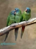 Blue Crown Conures