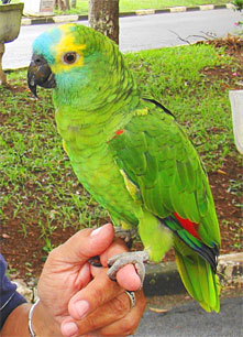 blue-fronted-amazon