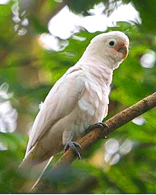 goffins-cockatoo-small