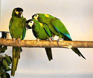 yellow-collared-macaw-small